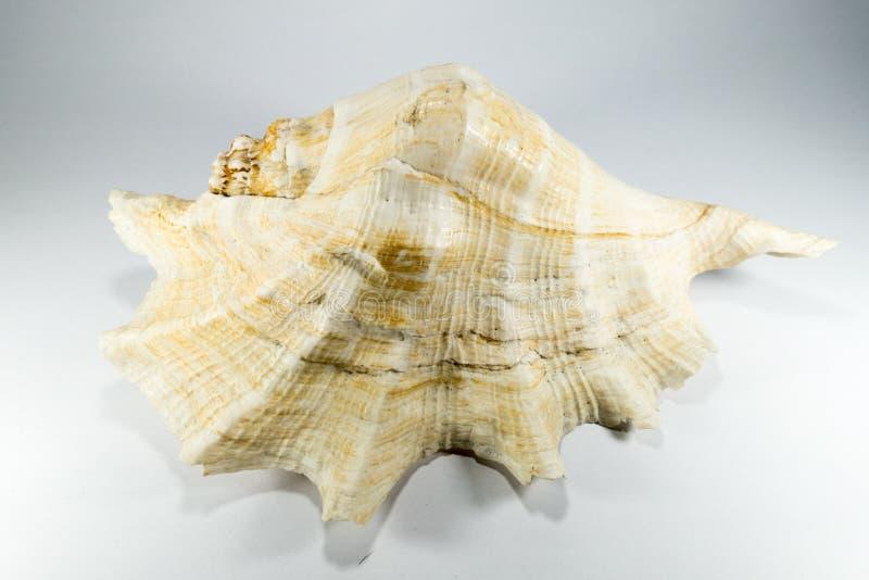 λευκό κοχυλιών θάλασσας ανασκόπησης στοκ φωτογραφίες