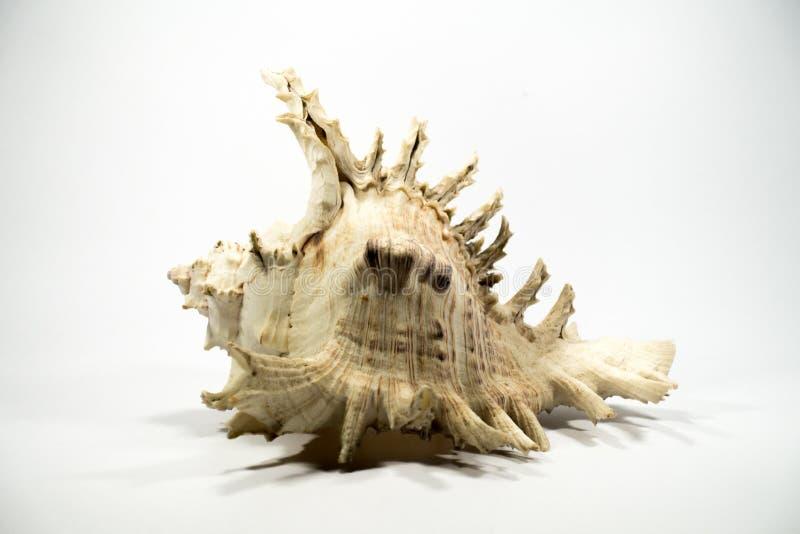 λευκό κοχυλιών θάλασσας ανασκόπησης στοκ εικόνες