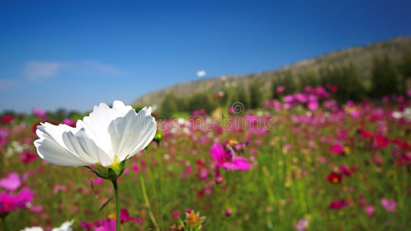 λευκό λουλουδιών κόσμ&omic στοκ εικόνες