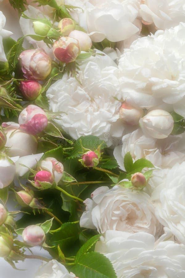 λευκό τριαντάφυλλων στοκ φωτογραφίες με δικαίωμα ελεύθερης χρήσης