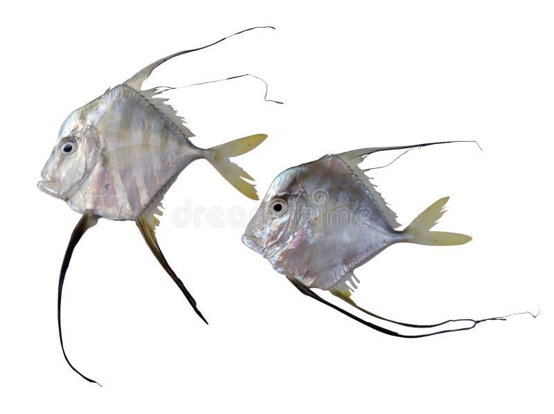 λευκό squamipinnis Ερυθρών Θαλασσών pseudanthias ψαριών της Αιγύπτου ανασκόπησης της Αφρικής απεικόνιση αποθεμάτων