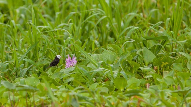Ευνοούμενοι τύραννος και λουλούδι έλους στοκ φωτογραφίες με δικαίωμα ελεύθερης χρήσης