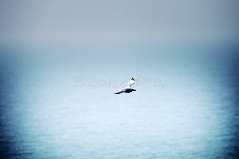 Ευνοούμενος γλάρος (pontisus Larus cachinnans) σε Μαύρη Θάλασσα στοκ φωτογραφίες με δικαίωμα ελεύθερης χρήσης