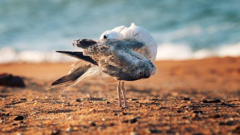 Ευνοούμενος γλάρος (pontisus Larus cachinnans) σε Μαύρη Θάλασσα στοκ εικόνα