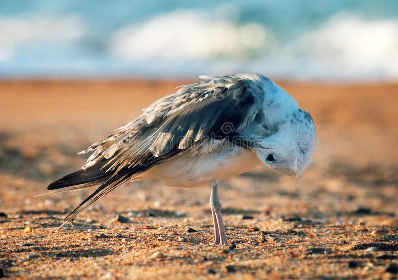 Ευνοούμενος γλάρος (pontisus Larus cachinnans) σε Μαύρη Θάλασσα στοκ φωτογραφία