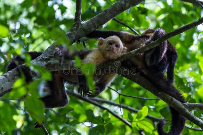 Ευνοούμενο capuchin - capucinus Cebus - Pura Vida στοκ εικόνες