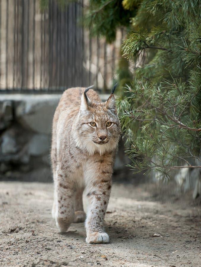 Ευρασιατική άγρια γάτα λυγξ λυγξ λυγξ που εμφανίζεται από βόρεια, την Κεντρική και Ανατολική Ευρώπη στην κεντρική Ασία και τη Σιβ στοκ φωτογραφίες
