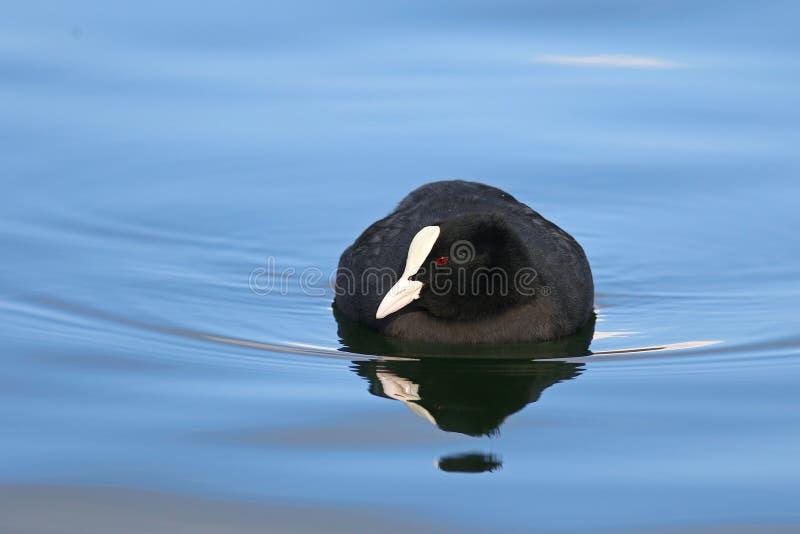 Ευρασιατική φαλαρίδα που κολυμπά στο πράσινο νερό στοκ φωτογραφία με δικαίωμα ελεύθερης χρήσης