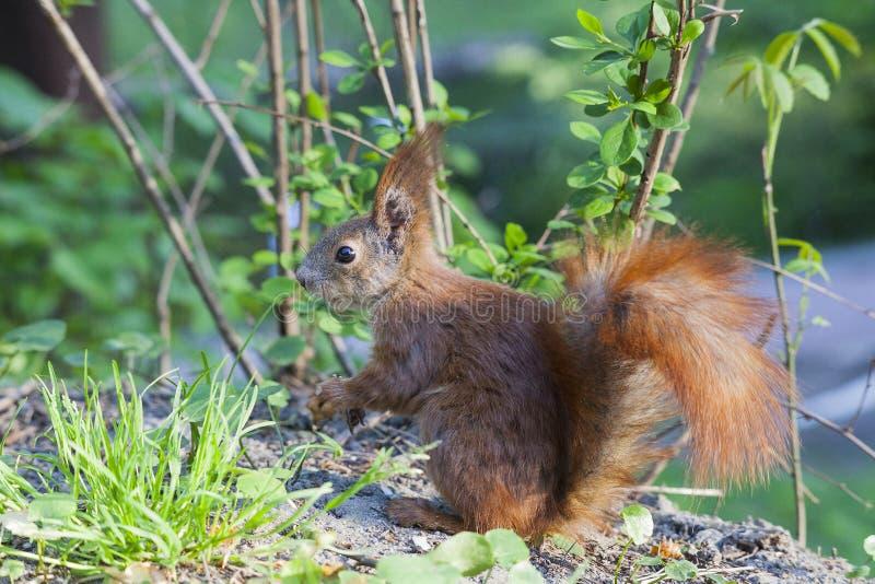 Ευρασιατικός κόκκινος σκίουρος κατά τη δασική, πλάγια όψη στοκ φωτογραφία με δικαίωμα ελεύθερης χρήσης