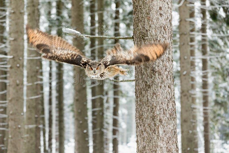 Ευρασιατικός μπούφος, bubo Bubo, πετώντας πουλί με τα ανοικτά φτερά στο χειμερινό δάσος, δάσος στο υπόβαθρο, ζώο στο habita φύσης στοκ φωτογραφίες με δικαίωμα ελεύθερης χρήσης