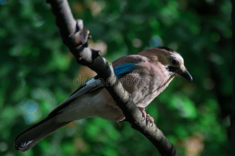 Ευρασιατικός jay Glandarius Garrulus ένα γκρίζος-καφετί πουλί με τα μπλε φτερά κάθεται σε έναν κλάδο σε ένα κλίμα του πράσινου δα στοκ εικόνα