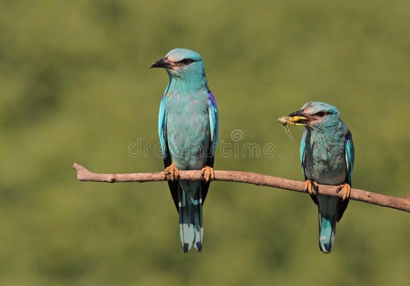 Ευρασιατικό ζευγάρι κυλίνδρων στοκ φωτογραφίες