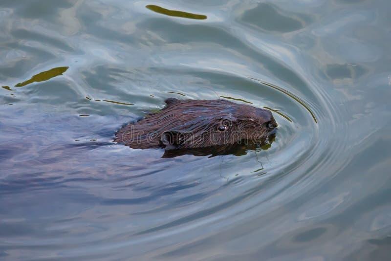 Ευρασιατικό τρωκτικό ινών καστόρων καστόρων στοκ φωτογραφία