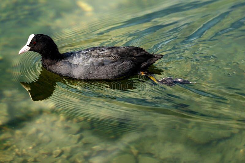 Ευρασιατικό φαλαρίδα ή Fulica Atra που κολυμπά σε μια λίμνη στοκ φωτογραφίες