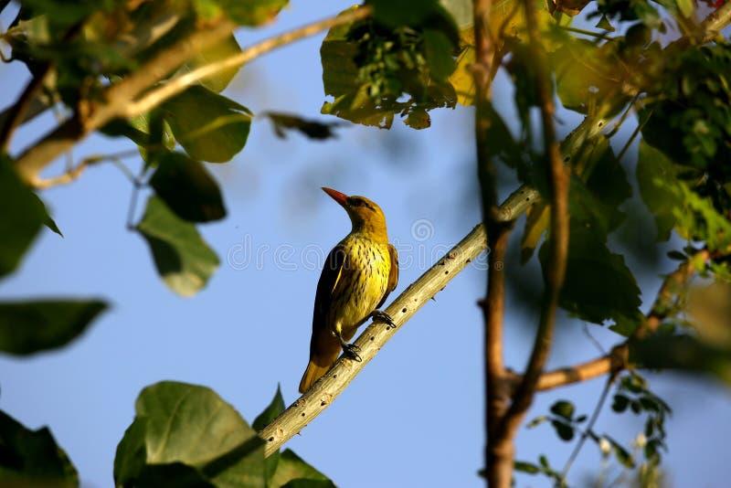 Ευρασιατικό χρυσό Oriole στοκ φωτογραφίες με δικαίωμα ελεύθερης χρήσης