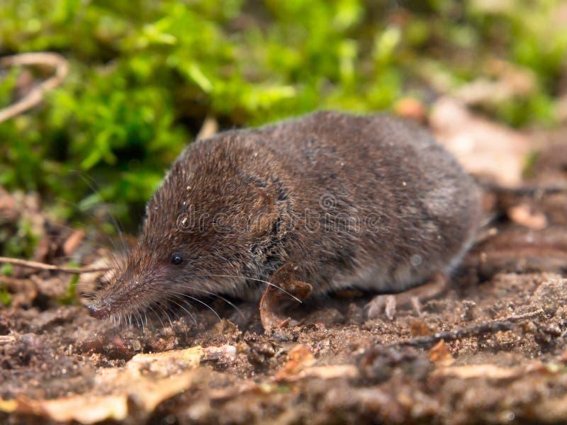 ευρασιατικό pygmy shrew στοκ εικόνες με δικαίωμα ελεύθερης χρήσης