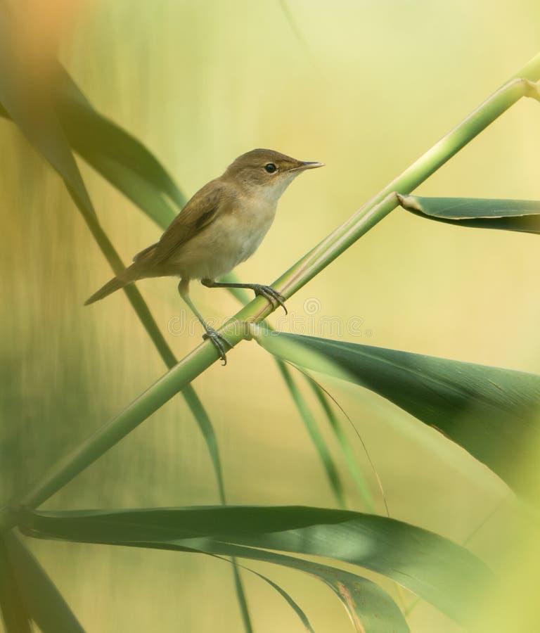 Ευρασιατικό Reedwarbler στον κάλαμο στοκ εικόνα