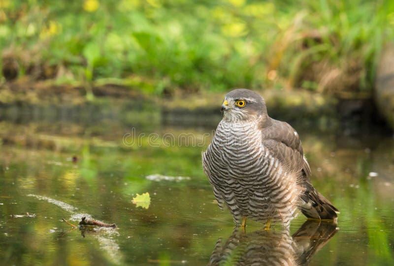 Ευρασιατικό Sparrowhawk που παίρνει ένα λουτρό στοκ εικόνα