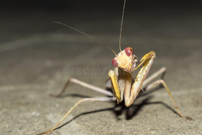 Ευρωπαϊκά mantis εντόμων τη νύχτα, άγριο υπόβαθρο φύσης κινηματογραφήσεων σε πρώτο πλάνο στοκ φωτογραφία με δικαίωμα ελεύθερης χρήσης
