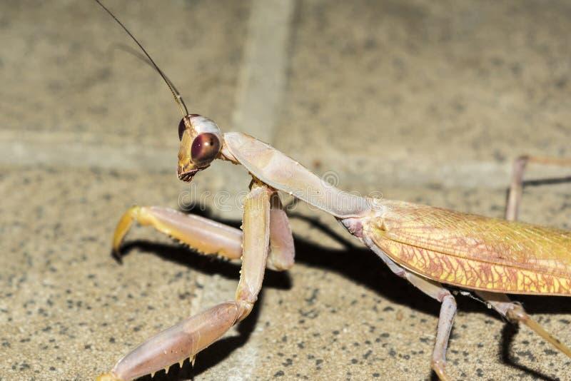 Ευρωπαϊκά mantis εντόμων τη νύχτα, άγριο υπόβαθρο φύσης κινηματογραφήσεων σε πρώτο πλάνο στοκ φωτογραφία