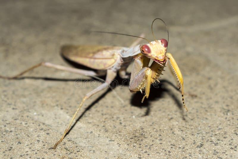 Ευρωπαϊκά mantis εντόμων τη νύχτα, άγριο υπόβαθρο φύσης κινηματογραφήσεων σε πρώτο πλάνο στοκ εικόνα με δικαίωμα ελεύθερης χρήσης