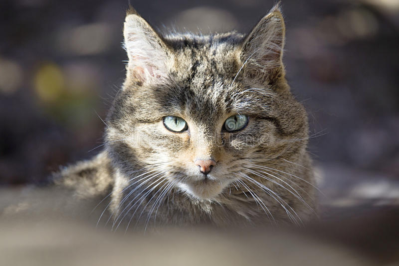 Ευρωπαϊκή άγρια γάτα, silvestris Felis στοκ εικόνα