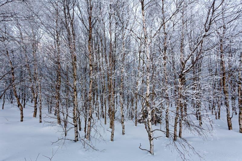 Ευρωπαϊκή άσπρη σημύδα χειμερινού χιονιού, υψηλοί βάλτοι, Βέλγιο στοκ φωτογραφία με δικαίωμα ελεύθερης χρήσης