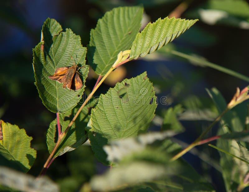 Ευρωπαϊκή πεταλούδα πλοιάρχων στα φύλλα στοκ εικόνες με δικαίωμα ελεύθερης χρήσης