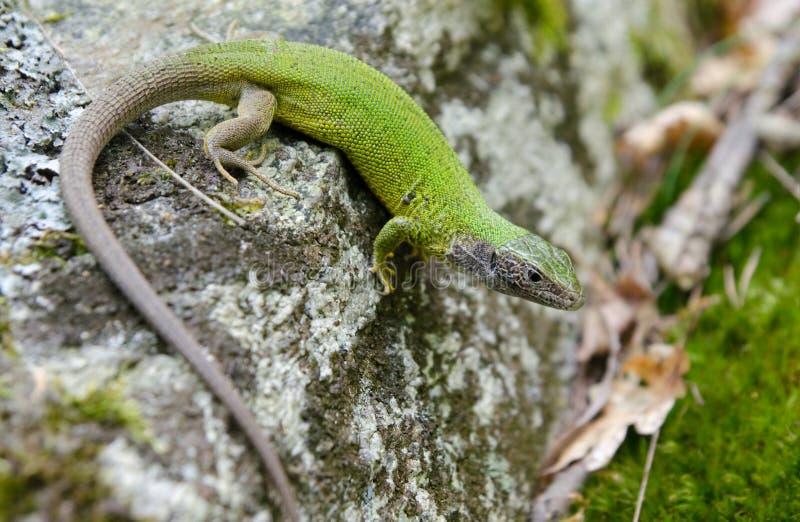 Ευρωπαϊκή πράσινη σαύρα (viridis Lacerta) στοκ φωτογραφίες