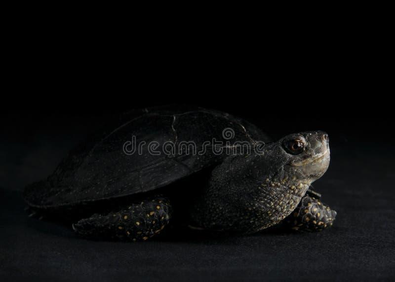 Ευρωπαϊκή χελώνα λιμνών, νότος Ural στοκ εικόνες