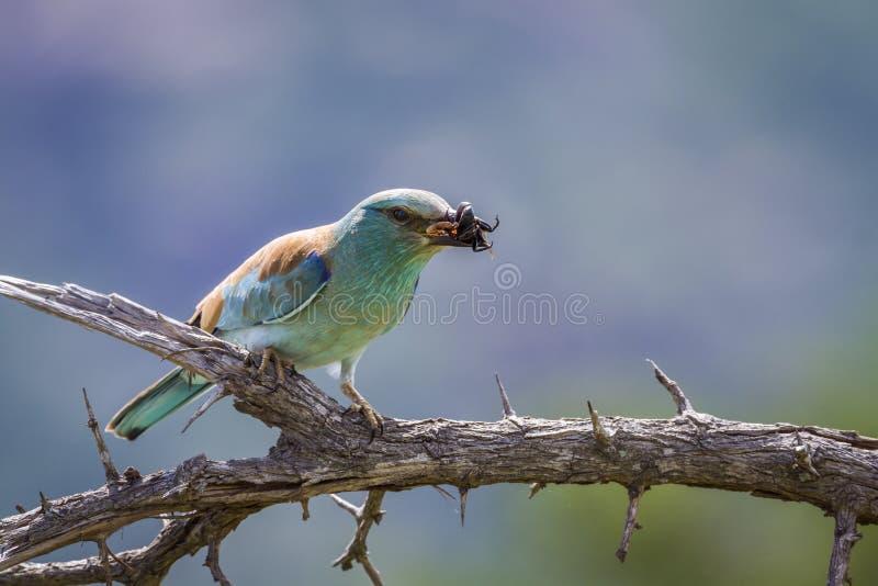 Ευρωπαϊκός κύλινδρος στο εθνικό πάρκο Kruger, Νότια Αφρική στοκ εικόνες