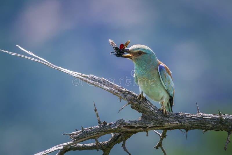 Ευρωπαϊκός κύλινδρος στο εθνικό πάρκο Kruger, Νότια Αφρική στοκ φωτογραφία με δικαίωμα ελεύθερης χρήσης