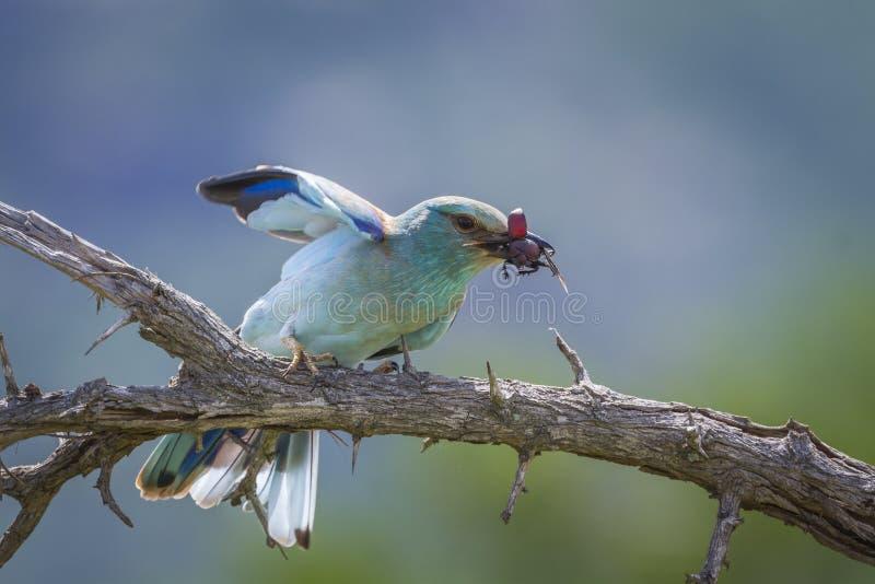Ευρωπαϊκός κύλινδρος στο εθνικό πάρκο Kruger, Νότια Αφρική στοκ εικόνες με δικαίωμα ελεύθερης χρήσης