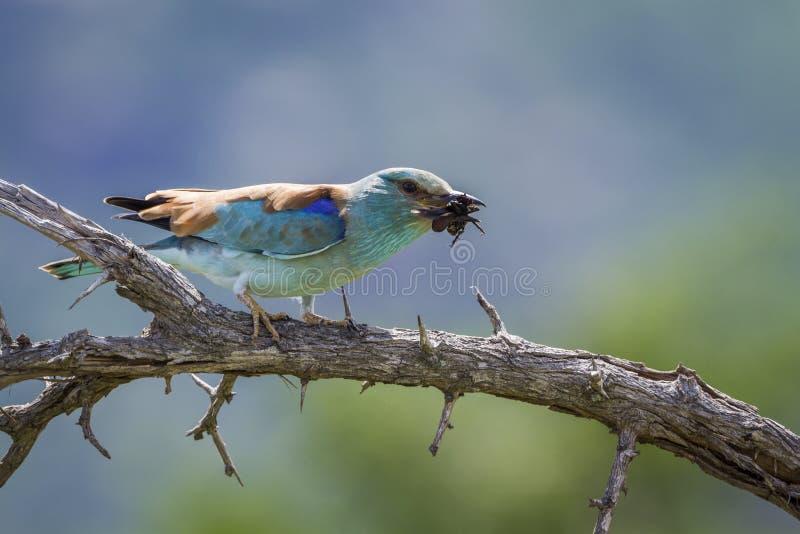 Ευρωπαϊκός κύλινδρος στο εθνικό πάρκο Kruger, Νότια Αφρική στοκ εικόνα