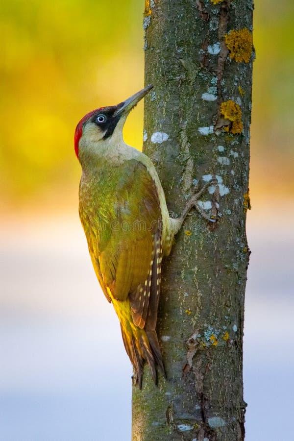 Ευρωπαϊκός πράσινος δρυοκολάπτης στο δέντρο στοκ φωτογραφία