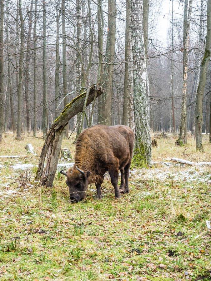 Ευρωπαϊκός bison bonasus βισώνων, aurochs στο δάσος στοκ εικόνες με δικαίωμα ελεύθερης χρήσης