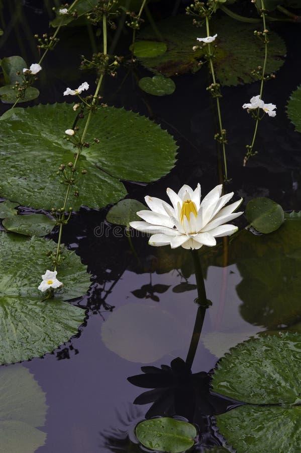 Ευρωπαϊκό λευκό waterlily ή nenuphar, ένα όμορφο υδρόβιο λουλούδι στοκ εικόνα