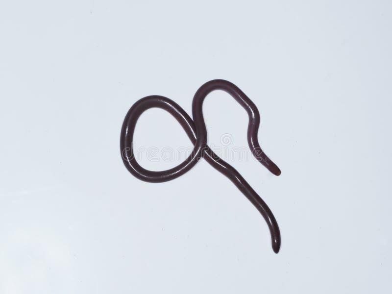 Ευρωπαϊκό φίδι σκουληκιών ή τυφλό φίδι, vermicularis Typhlops στοκ εικόνα