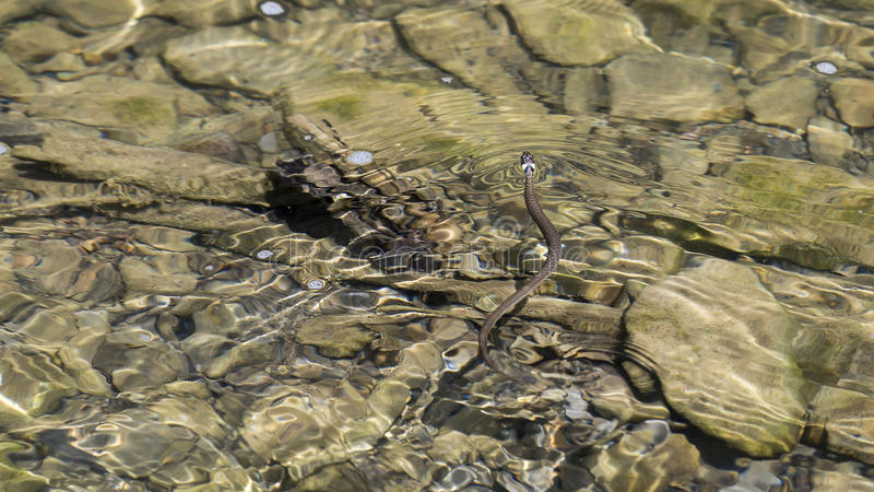 Ευρωπαϊκό φίδι χλόης ή ringed κολύμβηση φιδιών στοκ φωτογραφίες