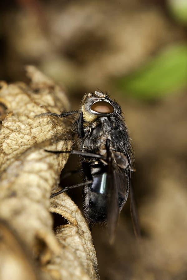 Ευρωπαϊκό Blowfly στοκ εικόνες με δικαίωμα ελεύθερης χρήσης