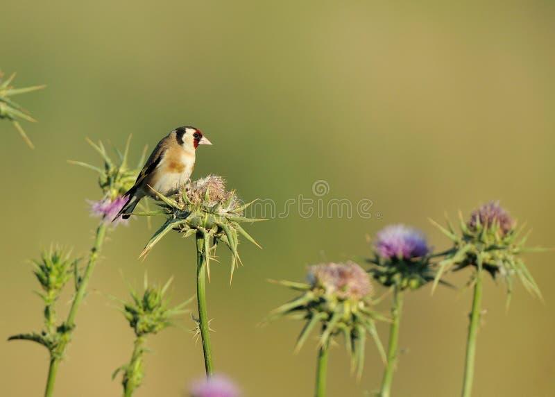 ευρωπαϊκό goldfinch στοκ φωτογραφία