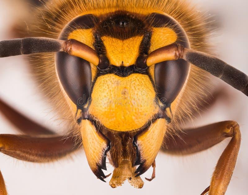 Ευρωπαϊκό Hornet, Hornet, crabro Vespa - ΑΡΣΕΝΙΚΟ στοκ φωτογραφίες με δικαίωμα ελεύθερης χρήσης