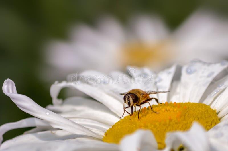 Ευρωπαϊκό Hoverfly στοκ εικόνα με δικαίωμα ελεύθερης χρήσης