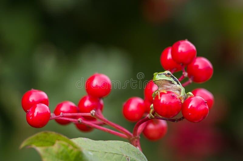 Ευρωπαϊκό Treefrog στοκ εικόνες με δικαίωμα ελεύθερης χρήσης