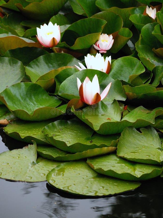 ευρωπαϊκό waterlily λευκό στοκ φωτογραφίες με δικαίωμα ελεύθερης χρήσης