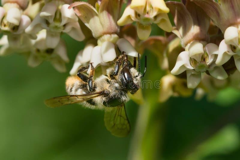 Ευρύς-μέλισσα φύλλο-κοπτών - latimanus Megachile στοκ φωτογραφία με δικαίωμα ελεύθερης χρήσης