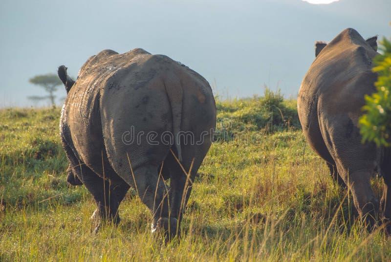 Ευρύς πυροβολισμός του περπατήματος hippos στο σαφάρι που πυροβολείται από πίσω στοκ εικόνα