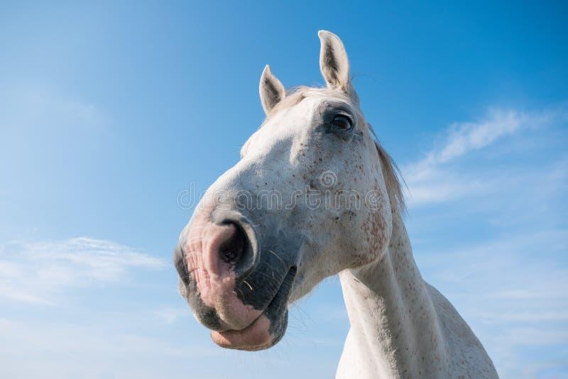 Ευρύ στενό επάνω πορτρέτο γωνίας του άσπρου αλόγου μια ηλιόλουστη ημέρα με το μπλε ουρανό στοκ εικόνες