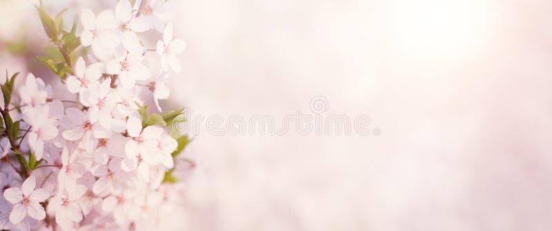 Ευρύ υπόβαθρο φύσης ανοίξεων γωνίας με τα λουλούδια κερασιών στοκ φωτογραφία με δικαίωμα ελεύθερης χρήσης