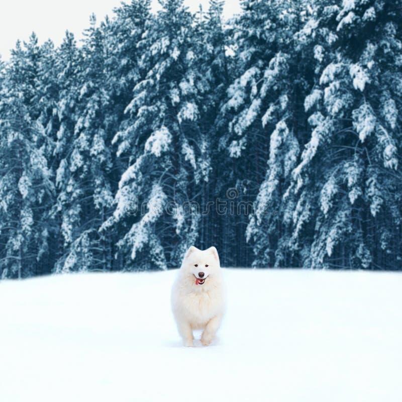 Ευτυχές άσπρο σκυλί Samoyed που τρέχει στο χιόνι στη χειμερινή ημέρα στοκ εικόνες